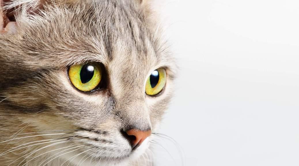 Gata El Cuidado Del Cuerpo: Gato Humano VS Gato Cazador